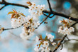 Spring white blossom on blue sky background