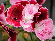 Pelargonium Grandiflorum Multi...