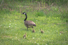 A Mother Canadian Goose Leads ...