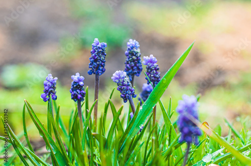A small bush with blooming flowers adder bow of blue color. Wallpaper Mural