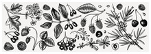 Summer Berries Collection. Hand Drawn Berry Illustrations. Fresh Fruits: Strawberry, Cranberry, Currant, Cherry, Bilberry, Raspberry, Blueberry Hand Drawings. Vintage Botanical Sketches Set. Outlines