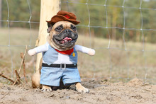 Fawn Colored French Bulldog Do...