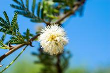 Low Angle Of Acacia Tree Branc...