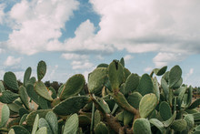 Green Cactus With Spikes Against Blue Sky With Clouds