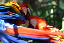 Close-up Of Scarlet Macaws