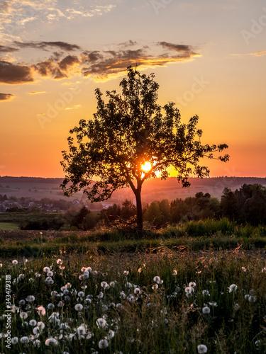 Baum und Pusteblumen im Sonnenuntergang