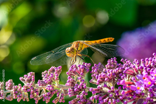 Vászonkép Close-up of a common darter  dragonfly which has landed on the purple flower of