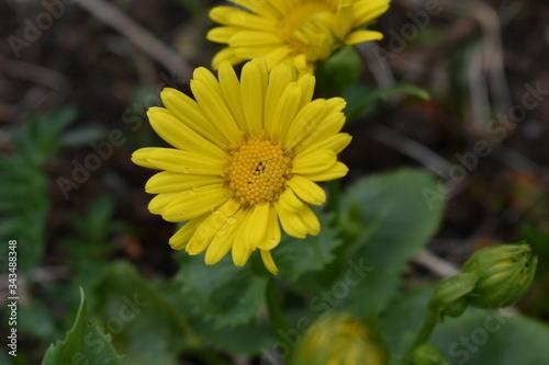 Fotografia Doronicum orientale