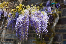Purple Wisteria Flowers In Blo...