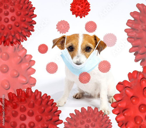 Jack Russell Terrier in a mask is not afraid of being infected with a coronovirus Canvas Print