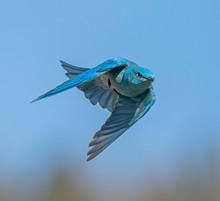 Male Mountain Bluebird Flying ...