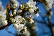 Fleurs de cerisiers au Printemps