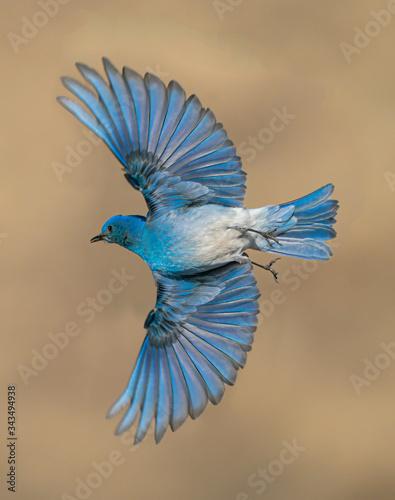 Male Mountain Bluebird Wings Wide Fototapet