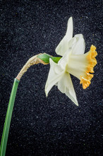 Close Up Of Daffodil Accent On...