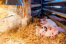 Newborn Piglets Sleeping Under A Heat Lamp On A Dutch Organic Farm