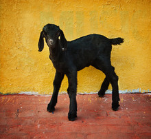Black Baby Goat Against A Yellow Wall On The Ghats Of The Ganges River, Varanasi, India