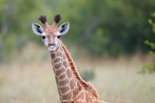 Giraffe Baby In The Kruger Nat...