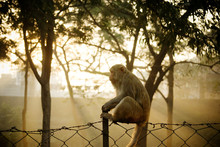 Rhesus Macaque Monkey Sitting On A Fence At Sunrise, Agra, India