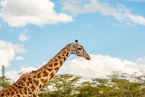 Photo PERFIL DE JIRAFA ADULTA EN UN DÍA SOLEADO EN KENIA - AFRICA