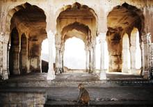 Rhesus Macaque Monkey At Monkey Galta Ji, The Monkey Temple Near The Pink City, Jaipur, Rajasthan, India