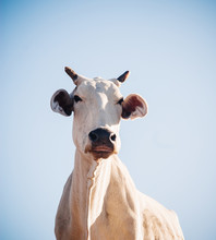 Cow On Blue Sky Background, Jaipur, Rajasthan, India