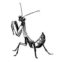 European Mantis Sketch