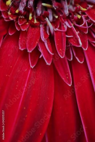 Photo Gerbera, Transvaal Daisy, Barberton Daisy or Barbertonse madeliefie flower closeup