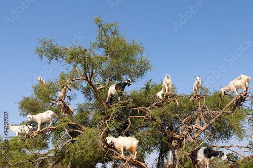 Photo Heard of moroccan goats climbed on Argan tree and eating Argan nuts