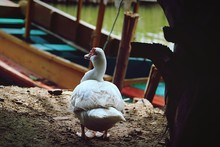 Muscovy Duck Perching Against Moored Boat