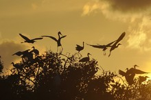 Silhouette Herons On Tree Agai...