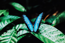 High Angle View Of Blue Butterfly On Wet Leaf