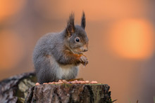 Squirrel Eating Peanut On Tree...