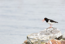Oystercatcher Perching On Rock Against Sea