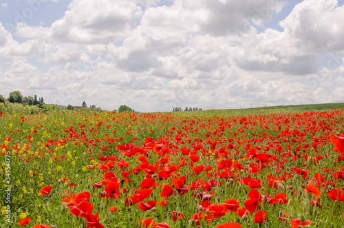 Fototapety, obrazy: champ de coquelicot rouge campagne