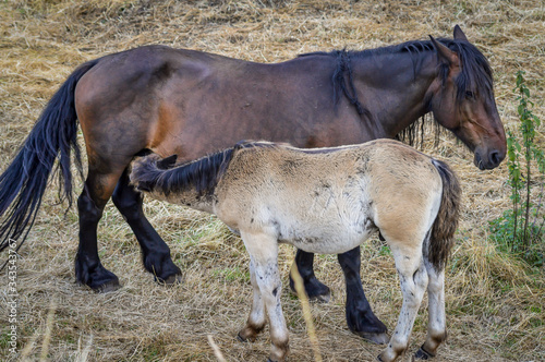 Auvergne horse, horse mare and foal grazing in french summer countryside Canvas Print