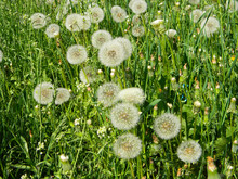 A Lot Of Dandelion White Seed Heads, Dandelion Fluffs In Green Grass Lawn In Spring Untouched By Herbicides.