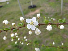 Wild Cherry Plum Tree Blossoms White Flowers On A Branch