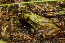 Green Frog In The Shallow Wate...