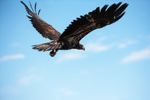 A Young Eagle Flies After Being Released By Marge Gibson Of The Raptor Education Group, Inc. (REGI) Of Antigo, Wisconsin In November.