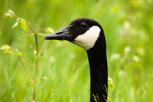 A Canada Goose Watches Alertly And Intently Within The Horicon National Wildlife Refuge, Waupun, Wisconsin In Late May