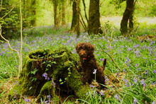 Cockapoo In Bluebells