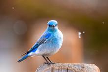 Blue Bird On A Fence Post