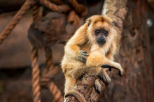Baby Howler Monkey At The John...