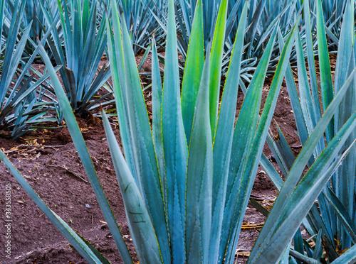 Photo Agave azul planata