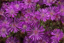 Fuchsia Flowers, Daisy Type, F...