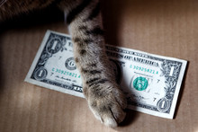 The Cat's Paw Is On Top Of The One-dollar Bill. Financial Concept Of Business, Corruption, Home Finance