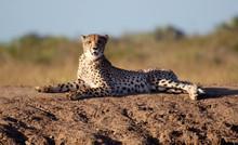 Cheetah Lying Atop A Sand Moun...
