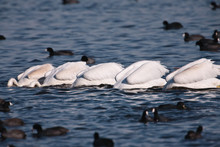 American White Pelicans, Each With Their Heads Down In The Water, Feeding In Mid-autumn Off The Bottom Aquatic Vegetation Of A Shallow Lake Within The Horicon National Wildlife Refuge, Wisconsin