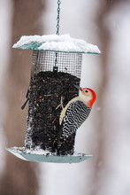 Red-bellied Woodpecker On Bird...