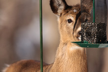 Young White-tailed Deer Feeding In The February Afternoon Sunshine Of Wisconsin From A Backyard Sunflower Bird Feeder